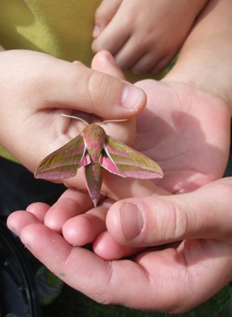 Elephant Hawk moth - Isabel Macho