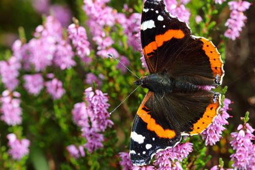 Red admiral - Alun Williams