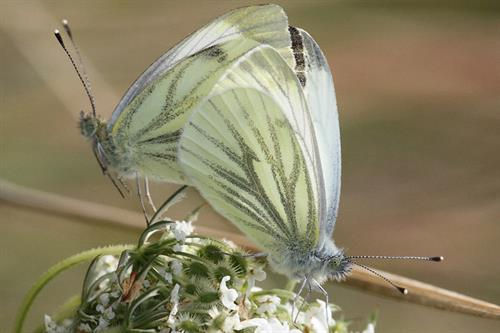 Green veined whites - Alun Williams