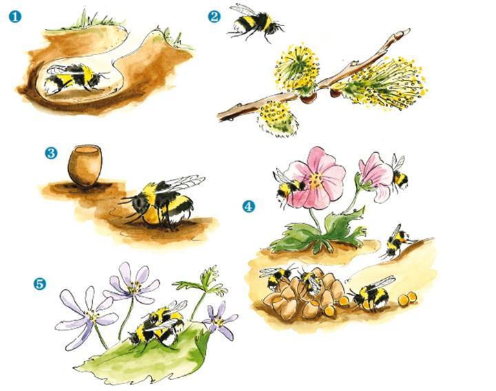 Bumblebee Life Cycle