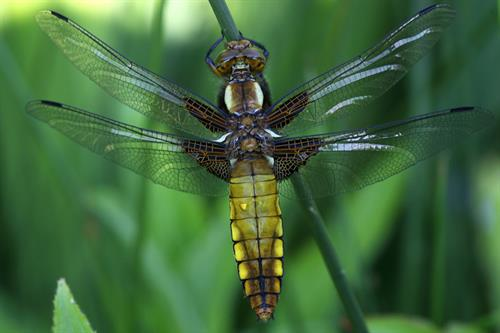 Broad bodied chaser - Alun Williams