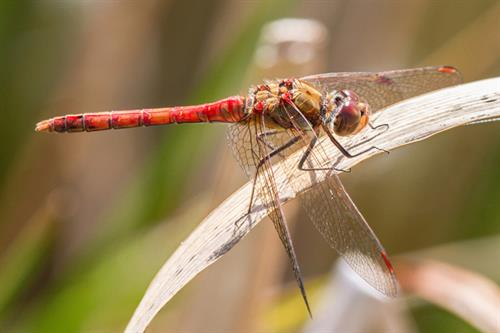 Common darter - Alun Williams