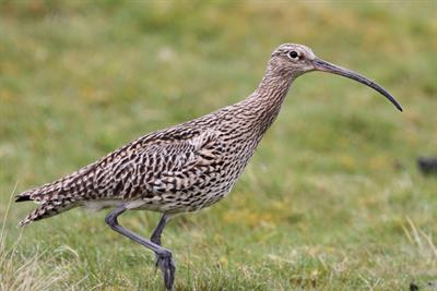 Curlew - Alun Williams