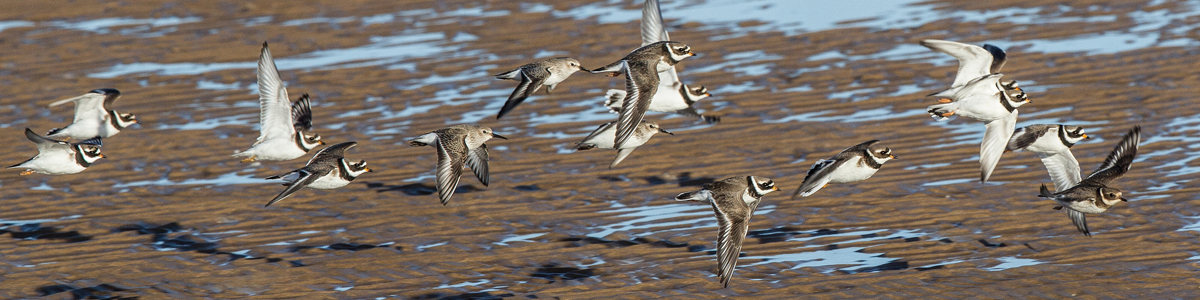 Waders in flight © Alun Williams