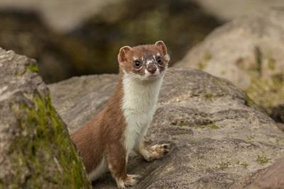 Stoat - Alun Williams