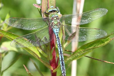Emperor dragonfly - Alun Williams