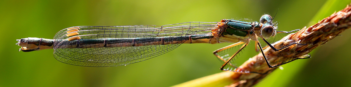 Emerald damselfly - Alun Williams
